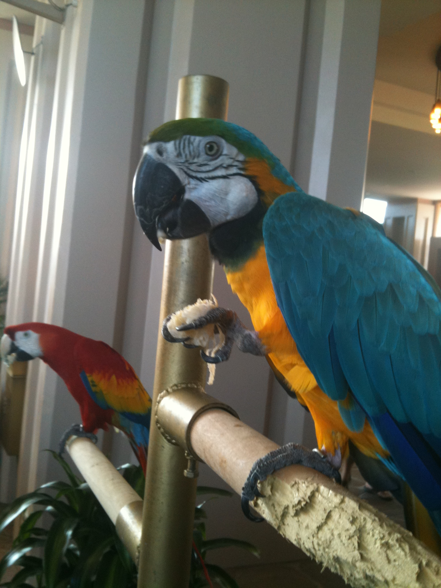 blue-and-gold-red-and-green-macaws-hotel.jpg