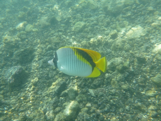Butterflyfish. There are several kinds, and I still cannot figure out which one this is exactly.