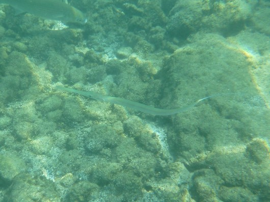 A'ha, or more commonly known as a Needlefish.