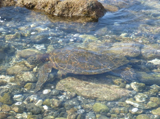 Lazy turtles are abundant at Kuki'o Beach.