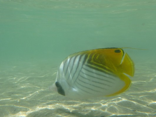 Threadfin Butterflyfish.