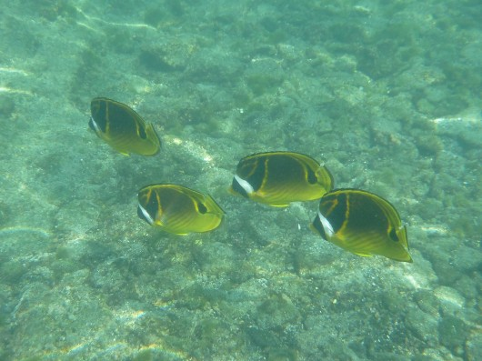 Raccoon Butterflyfish (I think these are raccoons anyway?).