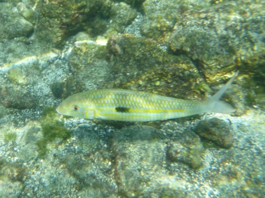 Yellowstripe Goatfish.