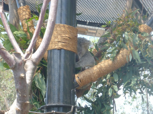 "... a sleeping koala! Yes, Koalafornia is mostly just a larger area for the koalas to sleep, but I bet they are loving all of the new space at night. We will need to go back for ""Night Zoo"" later this summer to check it out!"