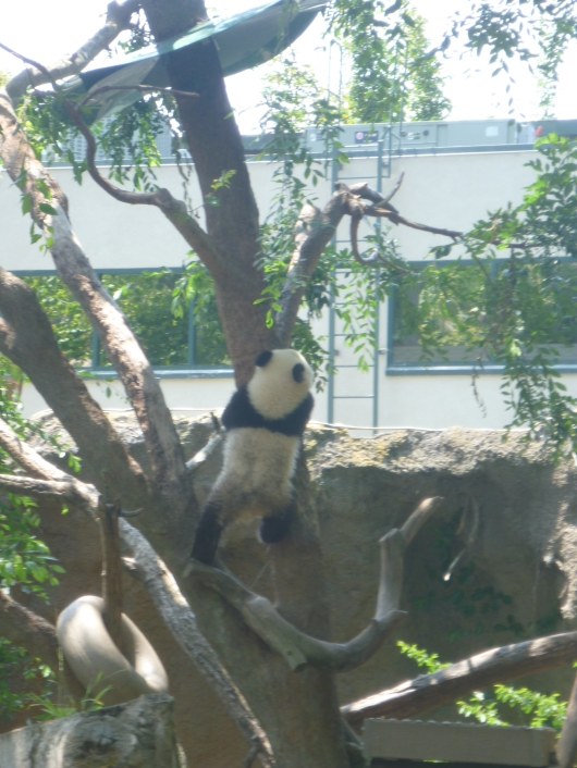 The baby panda was climbing the tree as his mom was climbing the walls waiting for lunch!