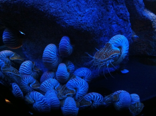 Chambered Nautilus in the Wonders of the Deep exhibit at the Aquarium of the Pacific.