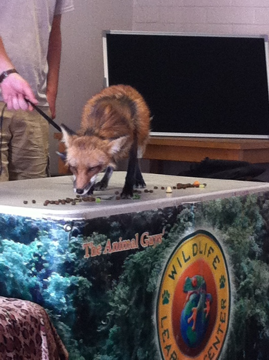 Fun red fox fact: Red foxes are the largest species of fox. This is Delilah.