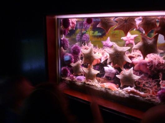 Beautiful sea star tanks greet all at the Cabrillo Marine Aquarium in San Pedro.