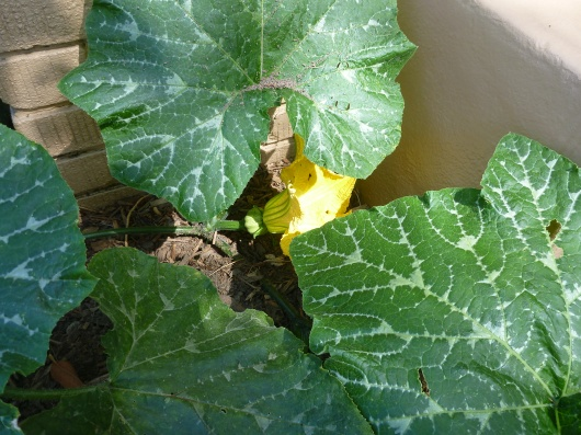 Another female pumpkin blossom setting up with fruit behind it on our vine. We really hope these are close to ready at Halloween but if not, they definitely should be by Thanksgiving.