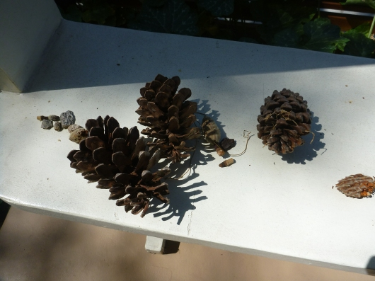 T's collection of pine cones. He's into collecting seeds right now, which is right on point for the harvest season.