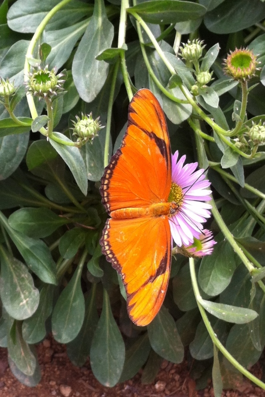 "I got a few iPhone photos of the butterflies, but C did an amazing job capturing the beauties with the ""real camera."""